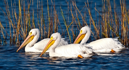 White Pelicans at Merritt Island National Wildlife Refuge ...