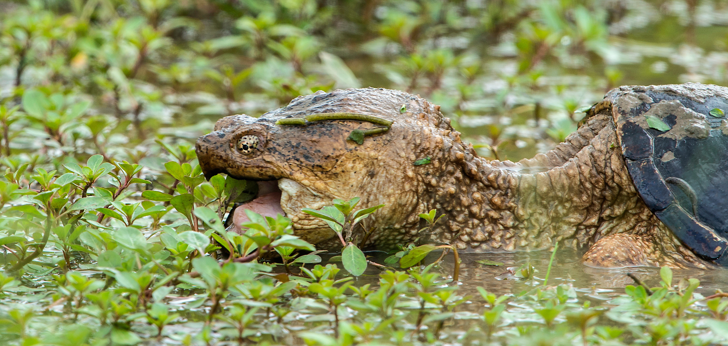 snapping turtle Snapping turtle fanatics has 5,213 members this page is dedicated to the care, keeping and conservation of the common snapping turtle and the alligator.