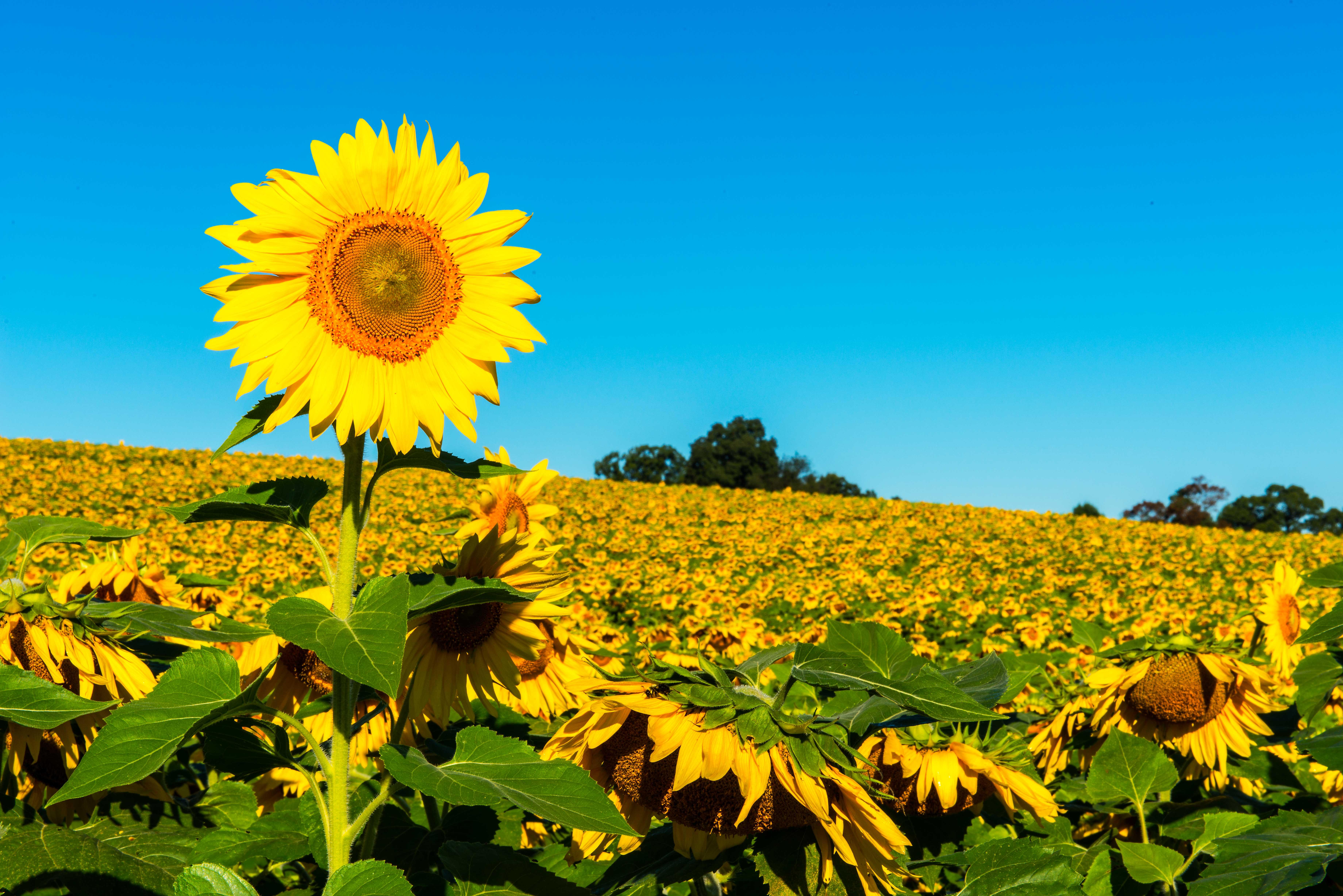 Maryland Sunflowers | Stephen L Tabone Nature Photography
