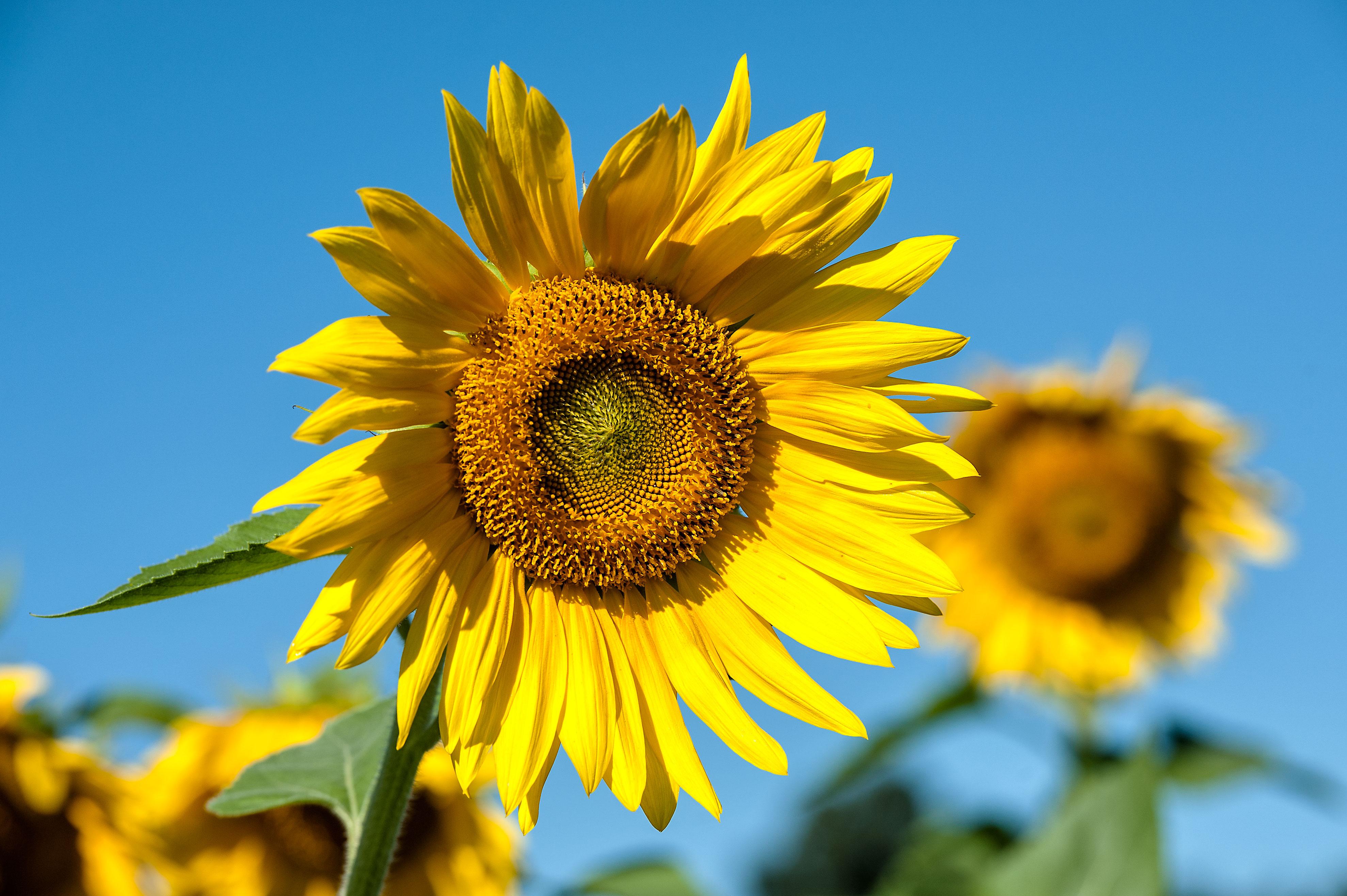 3957 x 2633 jpeg 1571kBSunflower