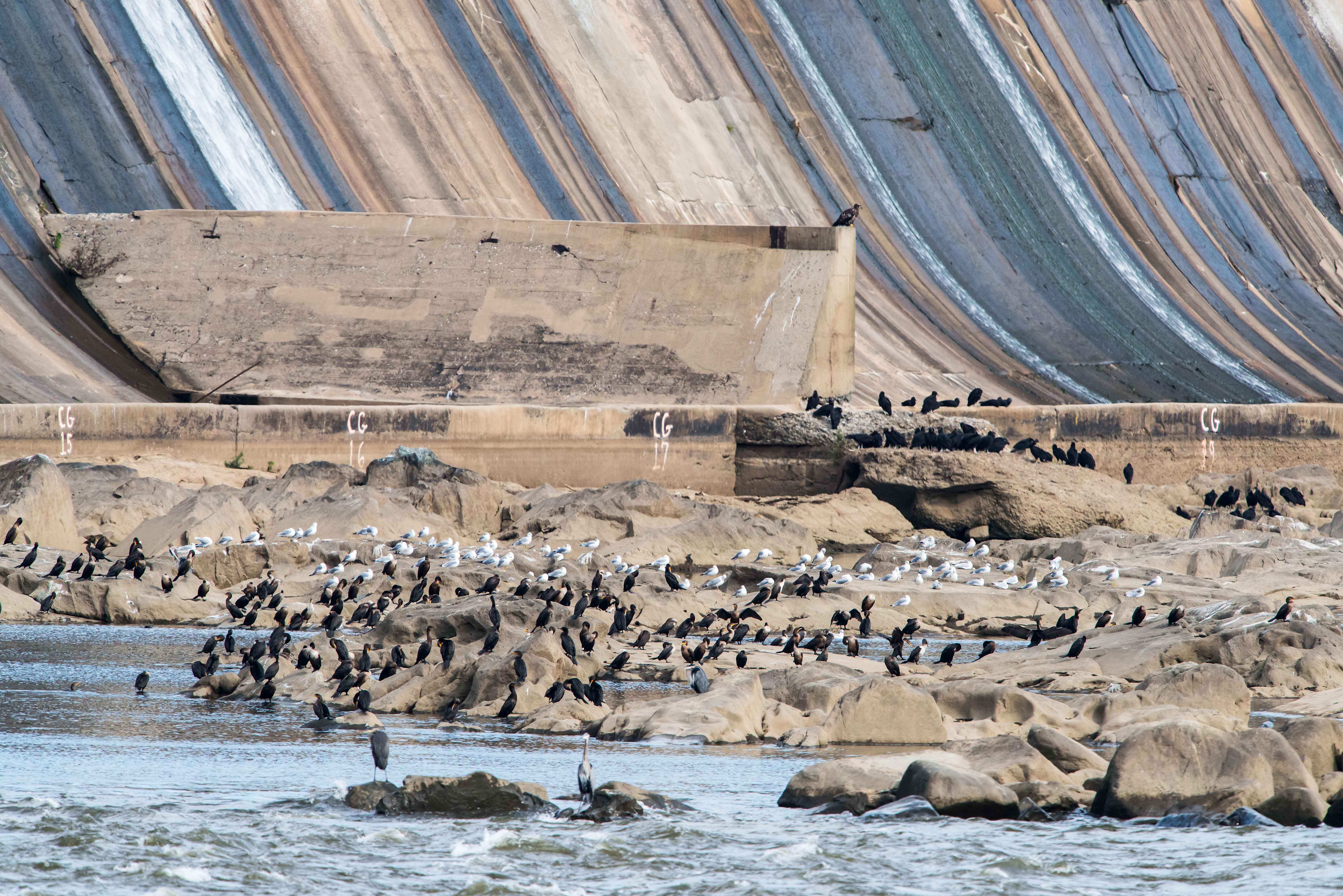 American Bald Eagles At Conowingo Dam Stephen L Tabone Nature