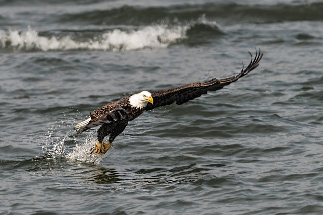 American Bald Eagle Catching a Fish