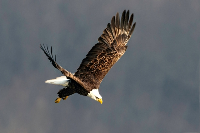 American Bald Eagle Diving toward River