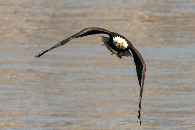 American Bald Eagle Flying with Fish