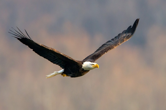 American Bald Eagle Flying over the Susquehanna River