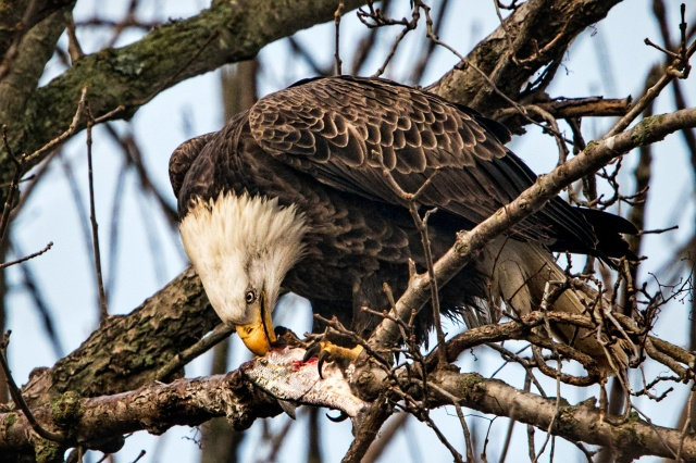 American Bald Eagle Eating a Fish