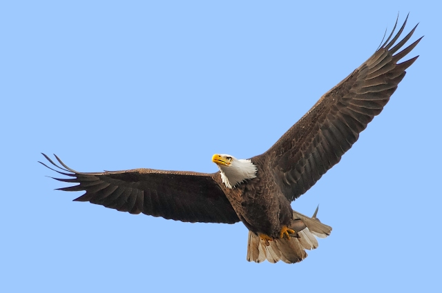 American Bald Eagle in Flight with Its Fish Catch