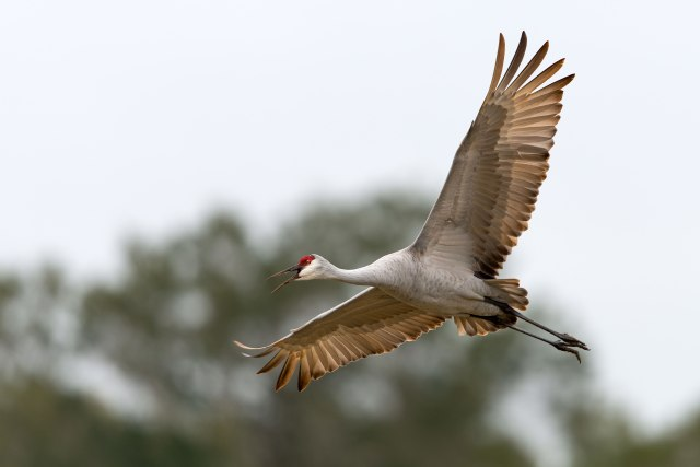 Flying-Sandhill-Crane
