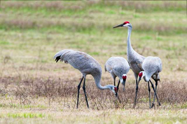 Four-Sandhill-Cranes-Feeding-and-One-on-Guard-Duty