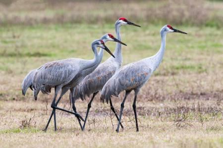 Four-Sandhill-Cranes