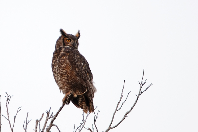 Great Horned Owl DXO
