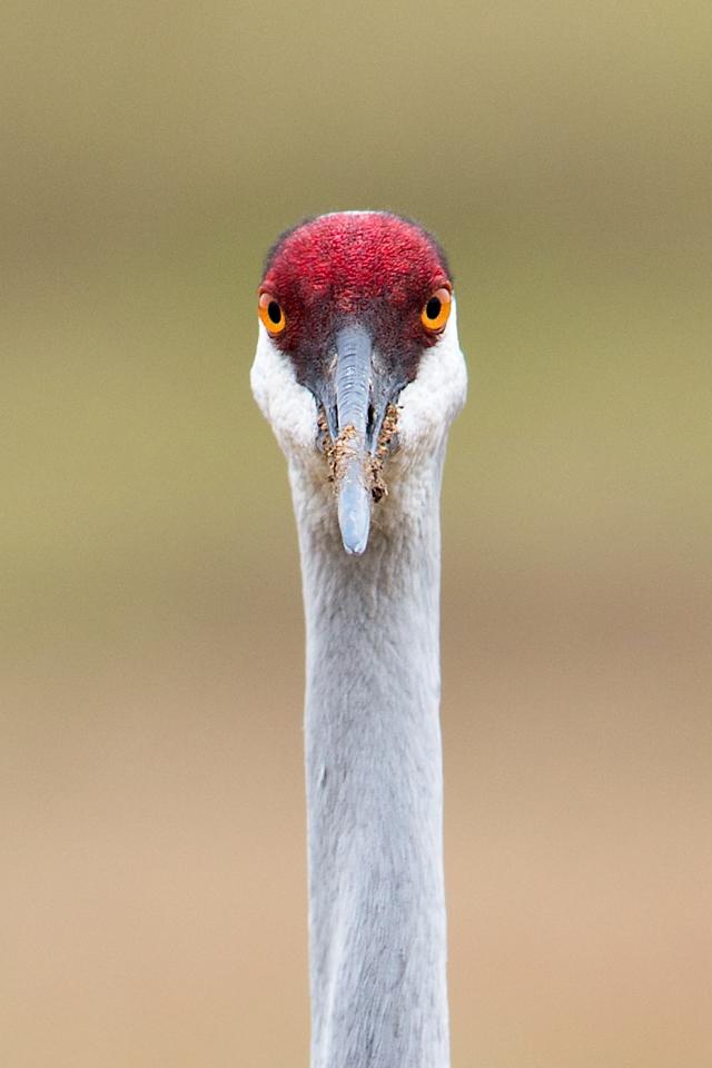 Sandhill-Crane-Profile