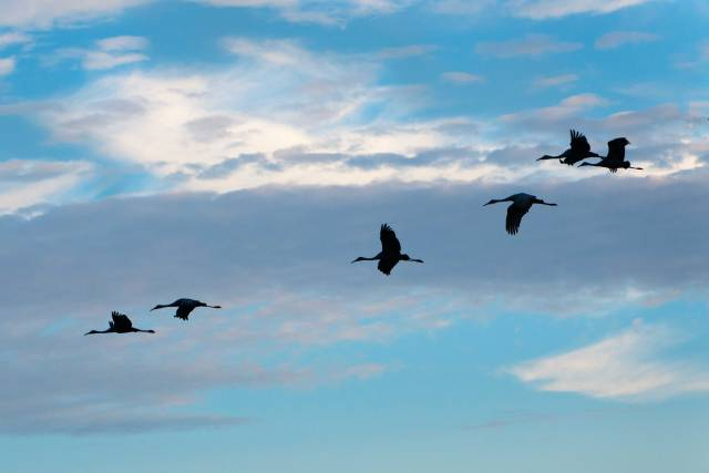 Sandhill-Cranes-Coming-to-the-Prairie-at-Sunset-2