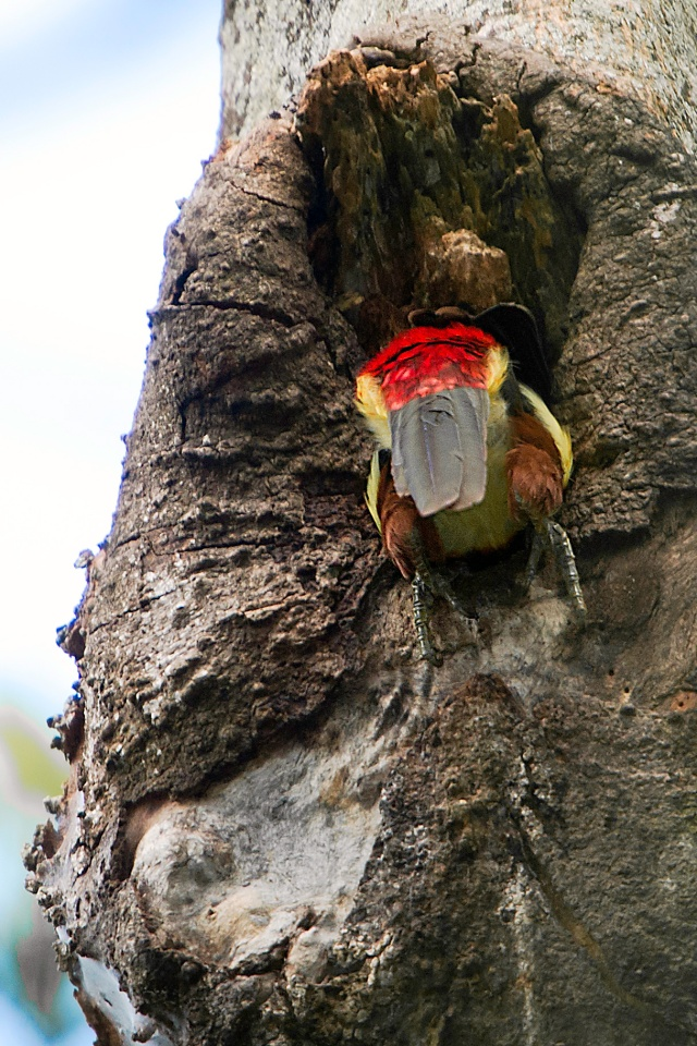 Aracari-Entering-Nest-in-Tree-2