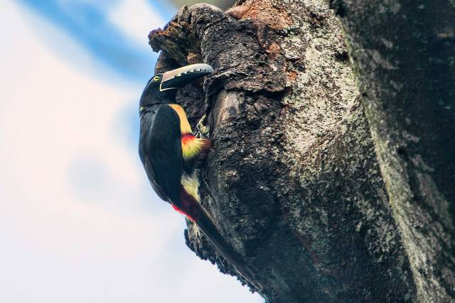 Aracari-Entering-Nest-in-Tree