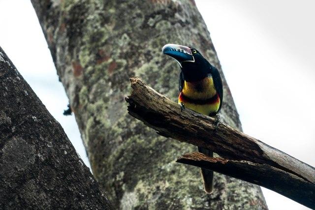 Aracari-in-Tree-1-02-22