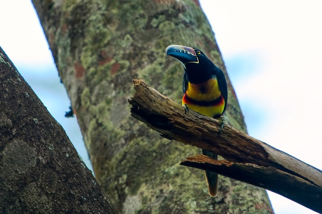 Aracari-on-Tree-Limb