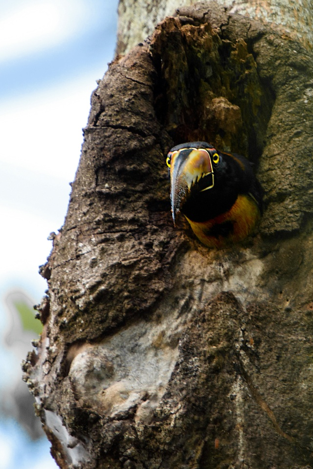 Collared-Aracari-Looking-Out-of-Nest