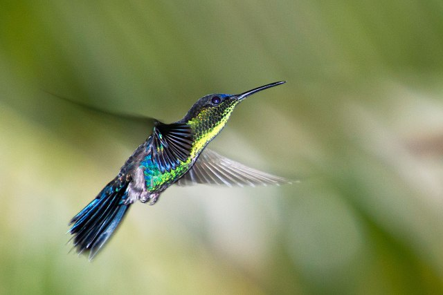 Violet-crowned Woodnymph (imm. male)