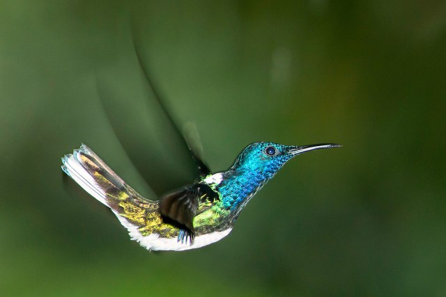 White-necked Jacobin (male)
