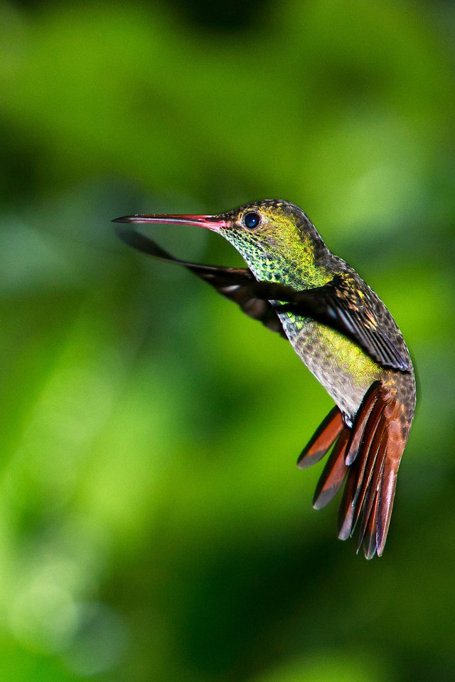 Rufus-tailed Hummingbird