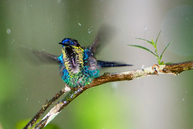 Violet-crowned Woodnymph (male)
