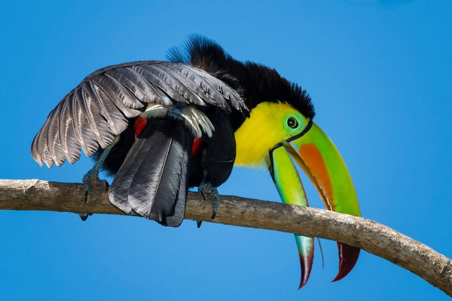Keel-billed-Toucan-21