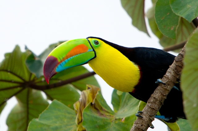 Keel-billed-Toucan-2