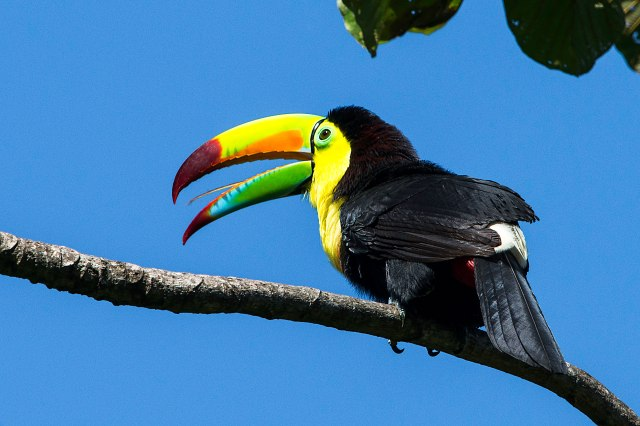 Keel-billed-Toucan-4