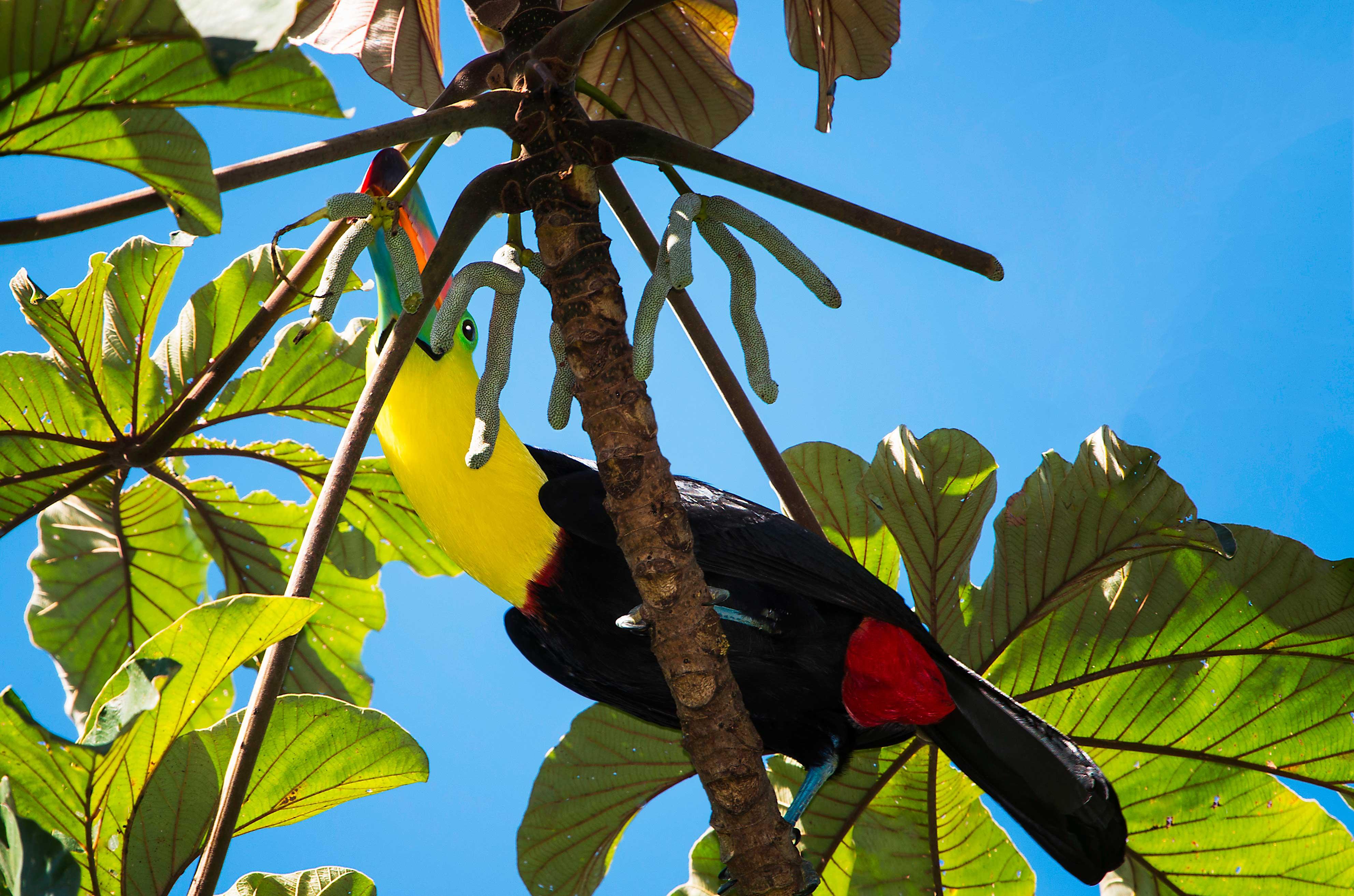 Keel Billed Toucan Feeding
