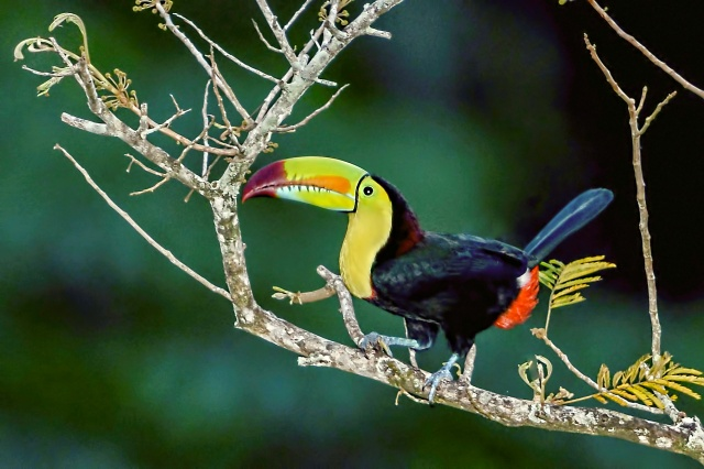 Keeled-billed-Toucan-in-Tree