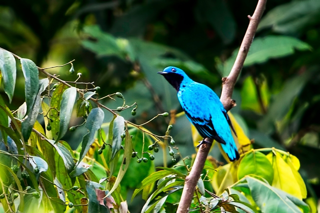 Lovely-Cotinga-2