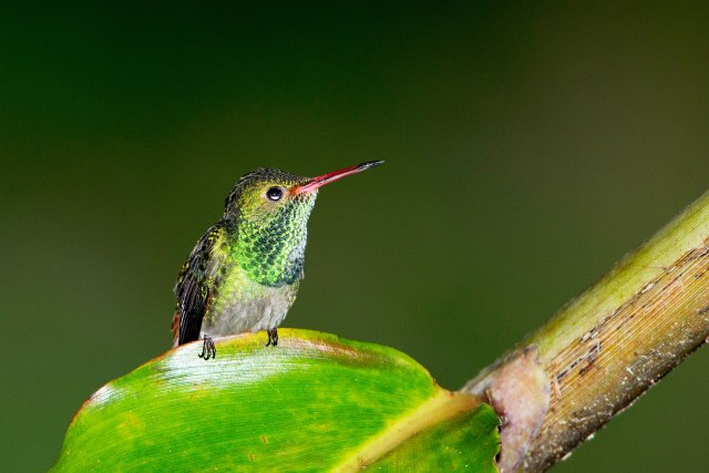 Rufous-tailed-Hummingbird-a