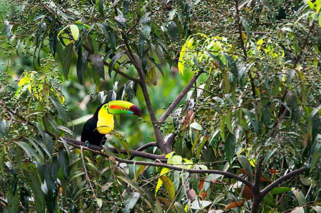 Toucan-in-Tree