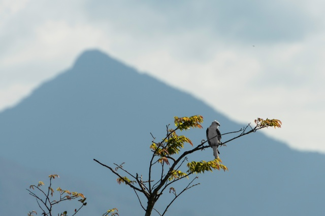White-Hawk-with-Pico-Bonito-Background