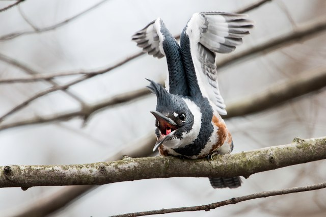 Belted-Kingfisher-3