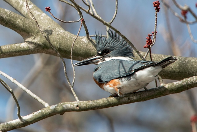 Belted-Kingfisher-8