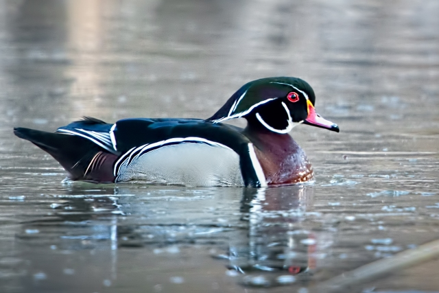 Drake-Wood-Duck-3
