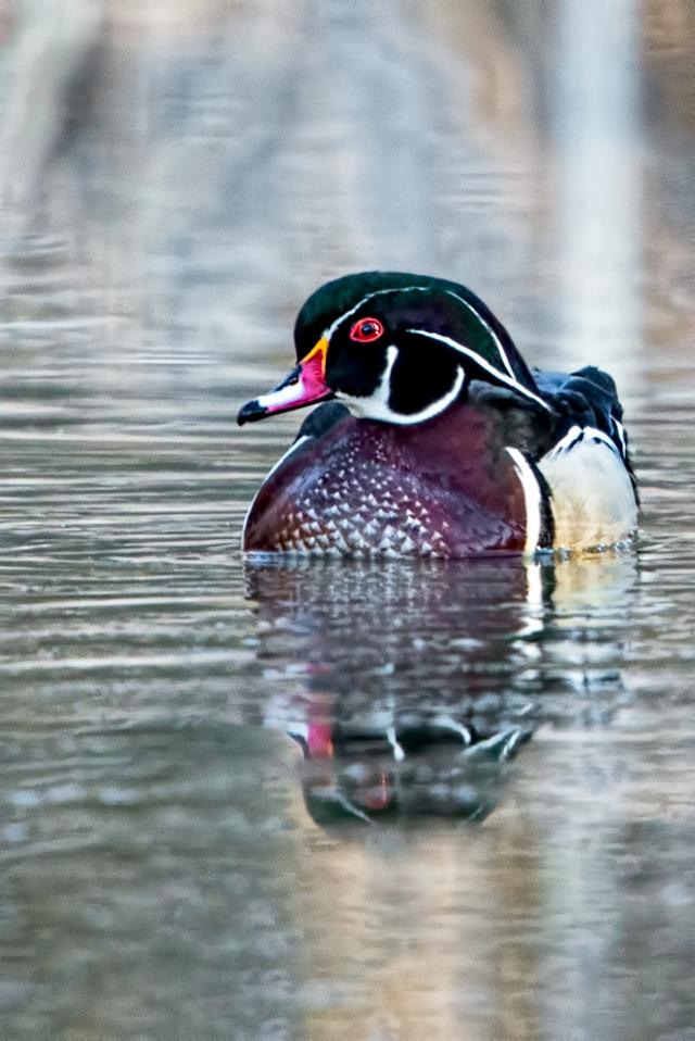 Drake-Wood-Duck