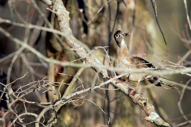 Female-Wood-Duck-in-Trees