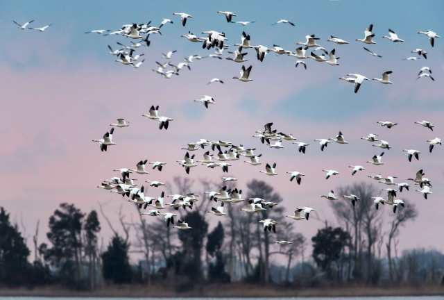 Flock-of-Snow-Geese-at-Prime-Hook