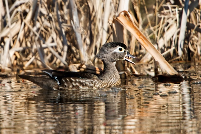 Hen-Wood-Duck