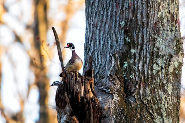 Male-&-Female-Wood-Ducks-1