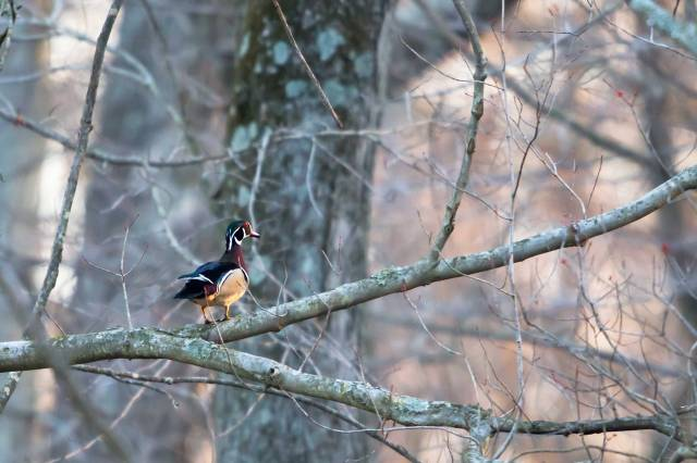 Male-Wood-Duck-in-Tree