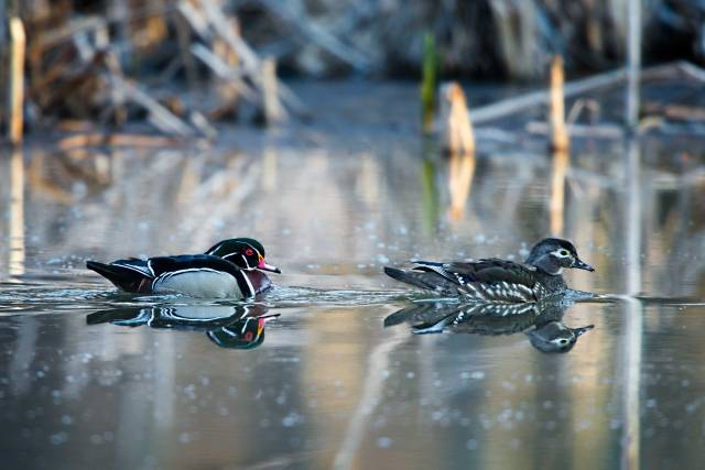 Pair-of-Wood-Ducks