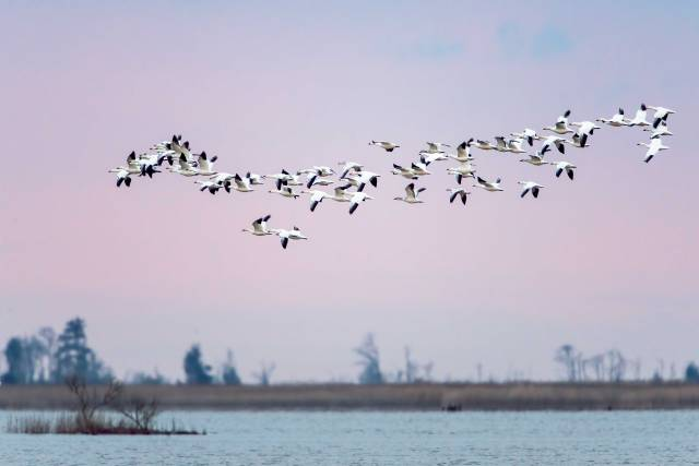 Snow-Geese-at-Sunrise-Prime-Hook-NWR