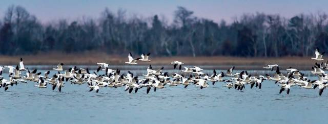Snow-Geese-Lift-Off-at-PHNWR