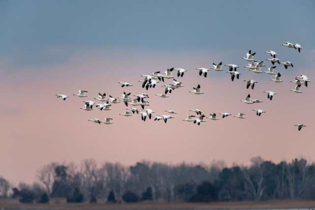 Snow-Geese-Lift-Off-at-Sunrise-at-PHNWR