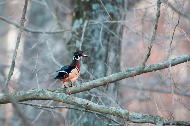 Wood-Duck-in-Tree