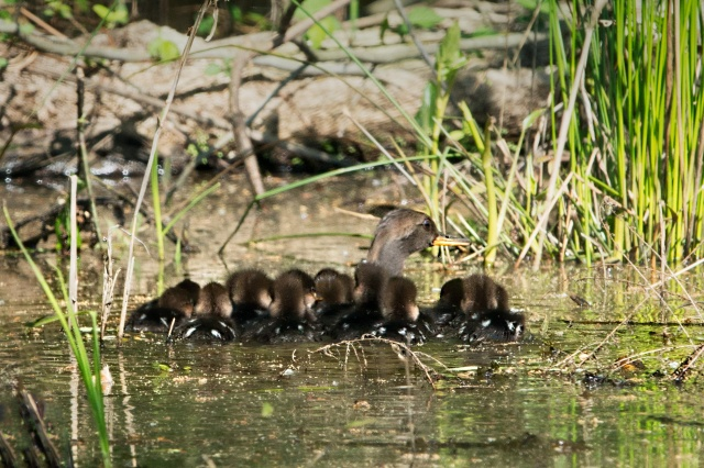 16-Hooded-Merganser-Ducklings-following-Mom